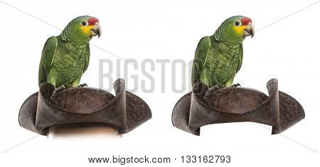 Red-lored amazon on a pirate hat, isolated on white