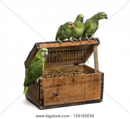 Yellow-crowned Amazon and a Red-lored amazon on a pirate chest, isolated on white