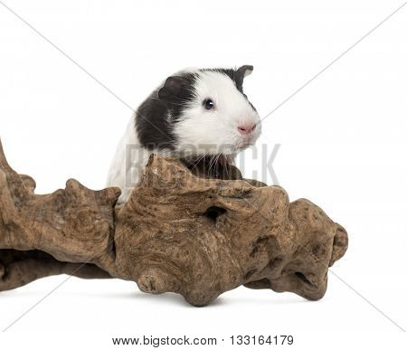 Guinea pig, cavia porcellus, on his branch, isolated on white