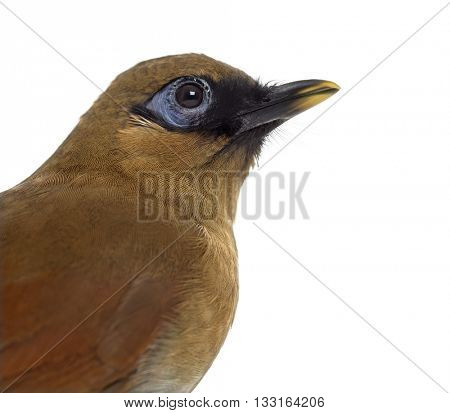 Close up profile of a Grey Sided Laughingthrush, Garrulax Caerulatus, isolated on white