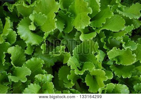 Lettuce Salad Green Leaves Countryside Garden Summer 1
