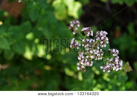 Oregano Blossom In The Countryside Garden Summer 2
