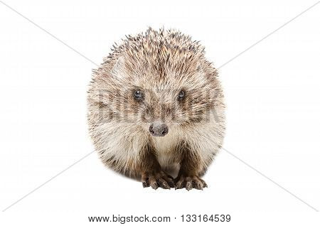 Portrait of a pretty hedgehog sitting isolated on white background