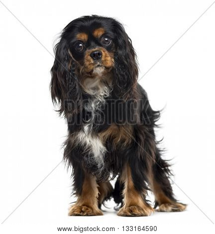 Cavalier King Charles Spaniel standing up and looking at the camera, isolated on white