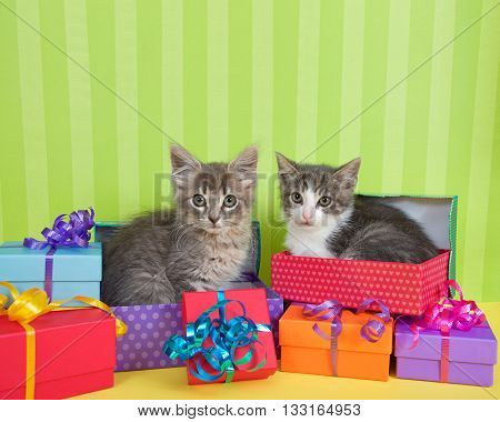 two month old tabby kittens peeking out of birthday present in a pile of brightly colored boxes with party hats bright green stripped background with space for copy above