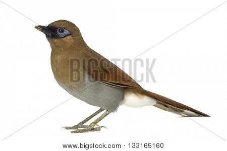 Profile of a Grey Sided Laughingthrush, Garrulax Caerulatus, isolated on white