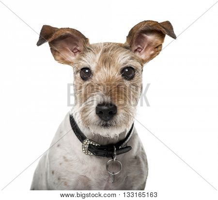 Close up of a Crossbreed dog looking at the camera, isolated on white