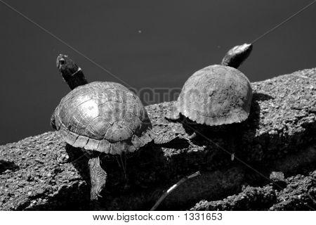 Tortoises Resting Under The