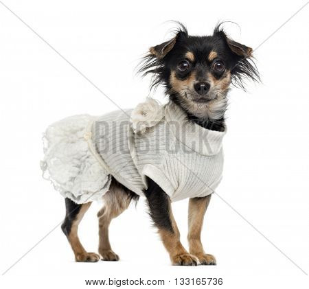 Chihuahua wearing a fancy dress, standing up and looking at the camera, isolated on white