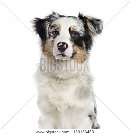 Australian Shepherd puppy looking at the camera and sitting, isolated on white