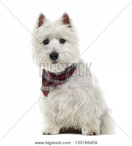 West Highland White Terrier looking at the camera and sitting, isolated on white