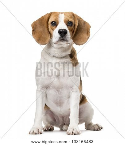 Beagle looking at the camera and sitting, isolated on white