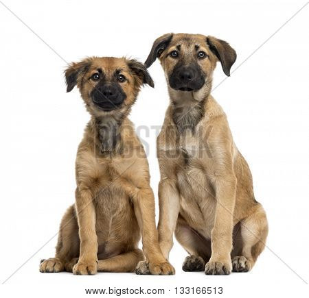 Couple of Crossbreed dog between a Labrador and a Malinois looking at the camera and sitting, isolated on white