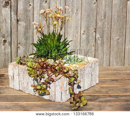 Stonecrop Plants In A Wooden Flower Pot.