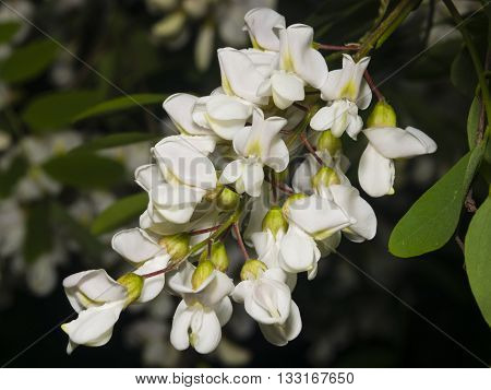 Black Locust False Acacia Robinia pseudoacacia blooming close-up selective focus shallow DOF