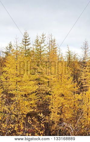 Yellow Larch. Taimyr Peninsula, Tundra.