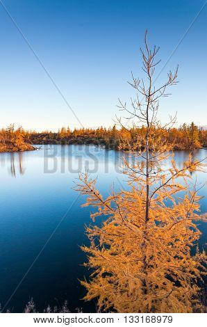 Yellow Larch On A Blue Lake In The Tundra, Deep Autumn In The Taimyr Peninsula Near Norilsk.