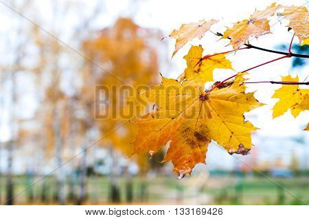 Branch With Withered Yellow Maple Leaf.