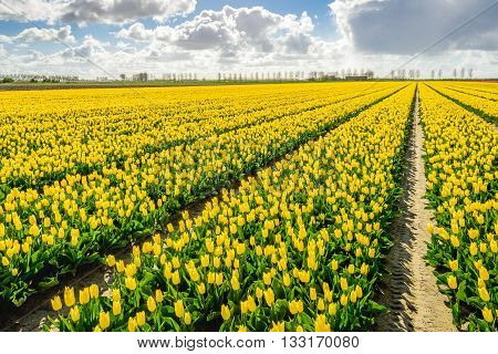 Backlit image of a Dutch landscape with diagonal converging flowerbeds with bright blossoming yellow tulips at the company of a specialized bulb grower.