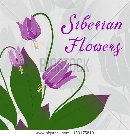 Colorful and elegant Siberian fawn lily vector illustration