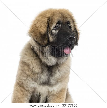 Close-up of a Caucasian Shepherd Dog looking away, isolated on white