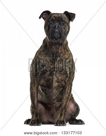 Crossbreed dog between a Boxer and a Bulldog looking at the camera and sitting, isolated on white