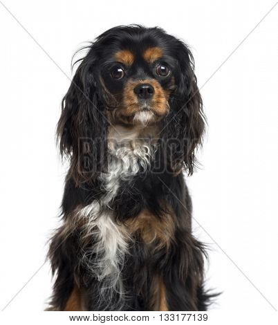 Close-up of a Cavalier King Charles Spaniel looking at the camera, isolated on white