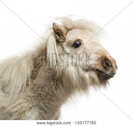 Close-up of a Shetland Pony isolated on white