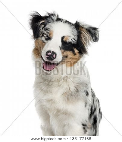 Close-up of a Australian Shepherd puppy eyes closed, isolated on white