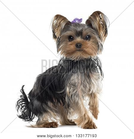 Yorkshire Terrier standing up and looking at the camera, isolated on white