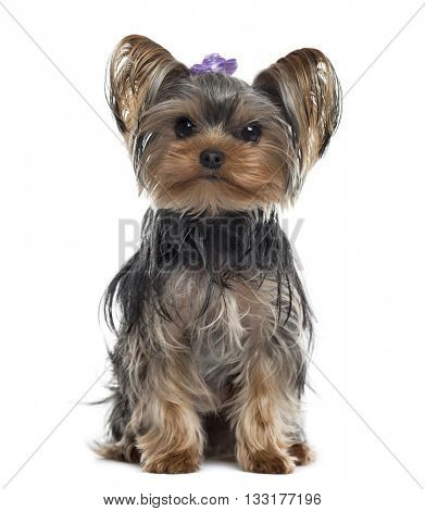 Yorkshire Terrier looking at the camera and sitting, isolated on white