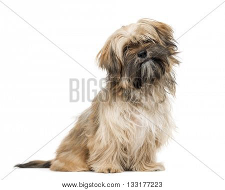 Shih Tzu puppy looking at the camera and sitting, isolated on white