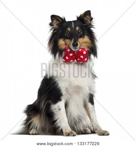 Shetland Sheepdog wearing a bow, looking at the camera and sitting, isolated on white