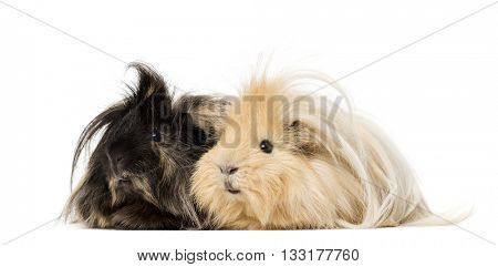 Couple of Guinea Pig isolated on white