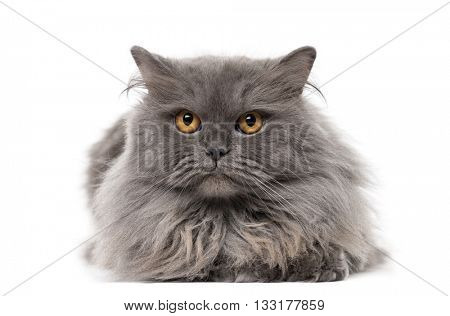 British Longhair lying down and looking at the camera, isolated on white