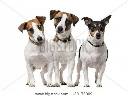 Group of Jack Russell Terrier standing up and looking at the camera, isolated on white