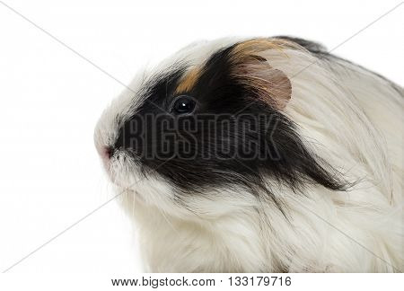 Close-up of a Guinea Pig isolated on white