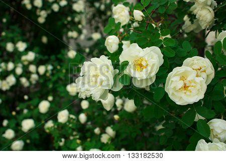 Wild rose in the beginnig of summer