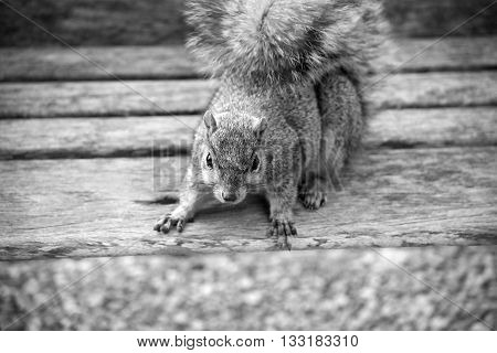 Squirrel on park bench in black and white