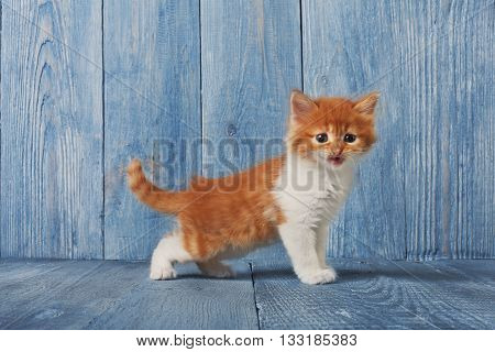 Cute kitten. Ginger kitten with white chest. Long haired red orange kitten. Sweet adorable kitten on a serenity blue wood background. Small cat. Funny kitten with copyspace