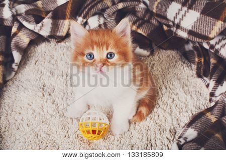 Cute kitten. Ginger kitten with white chest. Long haired red orange kitten sit at brown plaid blanket. Sweet adorable kitten on a serenity blue wood background. Small cat with toy ball. Funny kitten
