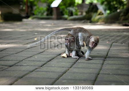 Monkey In The Monkey Forest Sanctuary, Ubud, Bali