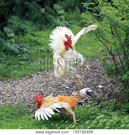 the roosters staged fights on farm on grass