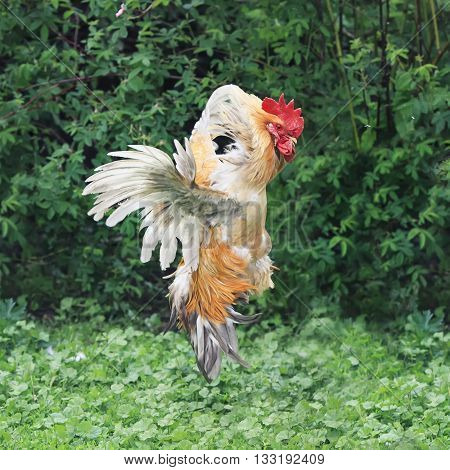 red rooster flew up over the land of fluffed up feathers and wings