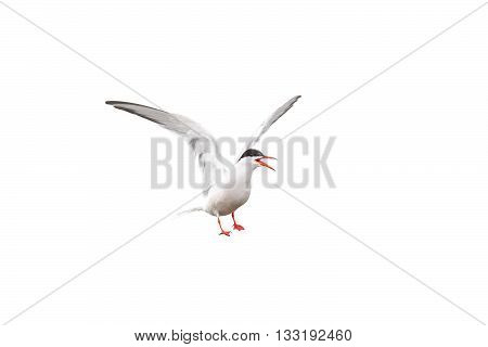 black-headed gull with open wings on white isolated background