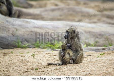 Specie Papio ursinus family of Cercopithecidae, mother baboon and its baby in Kruger park