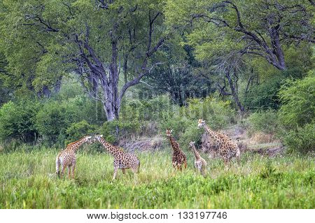 Specie Giraffa camelopardalis family of Giraffidae, group of giraffes in the bush in Kruger park