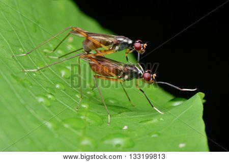 Stilt-legged Flies mating on a green leaf