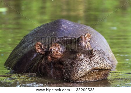 Specie hippopotame amphibie family of Hippopotamidae, big hippo having a nap in the riverbank