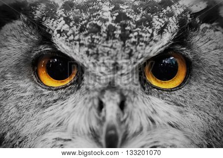 Closeup of owl face Carnivorous bird with amber eyes.